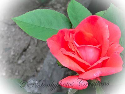 Rose Autunnali